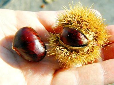 Chestnuts straight from the tree